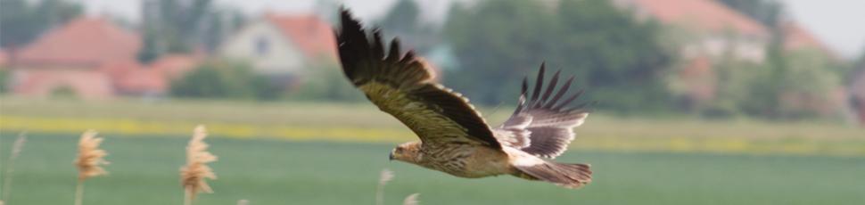 Flying immature imperial eagle (Photo: Márton Horváth)