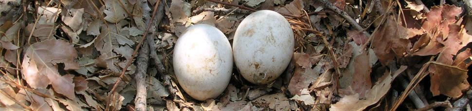 Imperial eagle eggs (Photo: Márton Horváth)