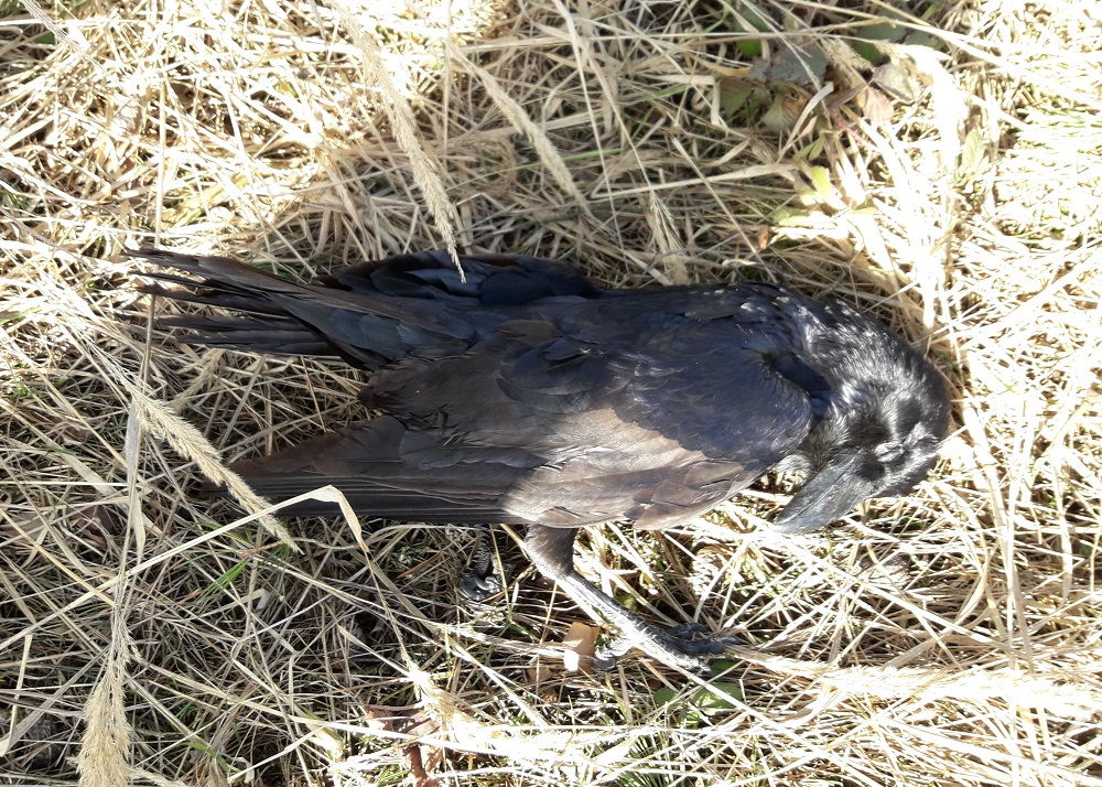 One of eight dead Common ravens found on Saturday.