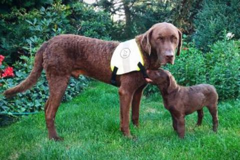 Puppy Victory, new member of the Czech PannonEagle field unit tests his pal's new working vest